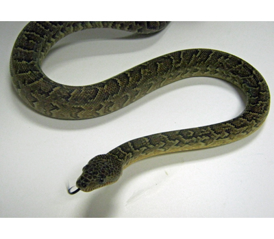Cuban Boa Snake All About Snake Pictures