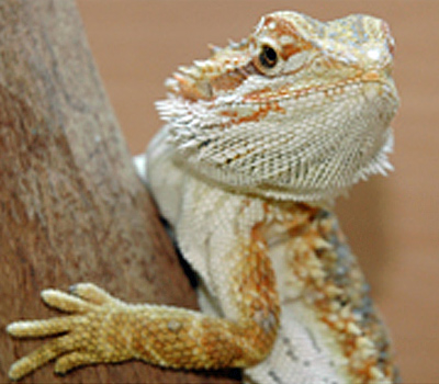 Bearded Dragon Lizards Livestock Blue Lizard