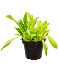 Picture of ProRep Live Food Plant Plaintain Assorted