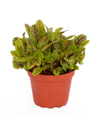 Picture of ProRep Live Food Plant Red Sorrel