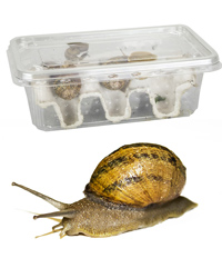 Picture of Snails Medium - Approx 8 per Tub