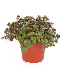Picture of ProRep Live Food Plant Callisia repens