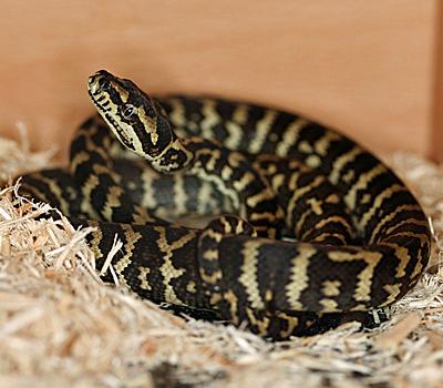 Irian Jaya Carpet Python Snakes Livestock Blue