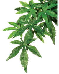 Picture of Exo Terra Silk Plant Abutilon Large