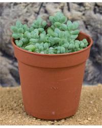 Picture of ProRep Live Plant Sedum burrito