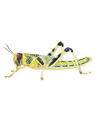 Picture of Locusts Bulk Tub 100 Small - 2nd Size - 8-12mm