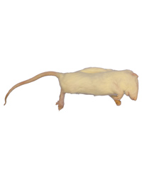 Picture of Frozen Rat Large Weaners 50-90g - Pack of 10
