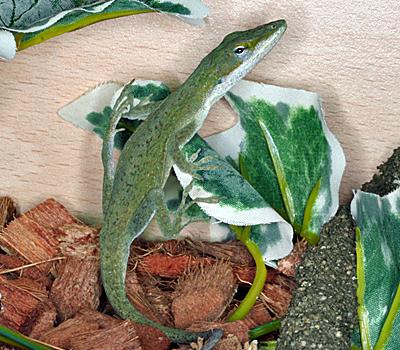 Green Anole Lizards Livestock Blue Lizard Reptiles