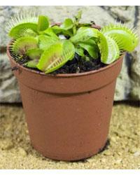 Picture of ProRep Live Plant Dionaea muscipula