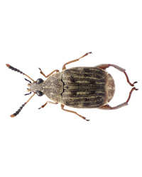 Picture of Bean Weevil Culture