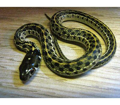 Chequered Garter Snake - Snakes - Livestock - Blue Lizard Reptiles -  Reptile Shop