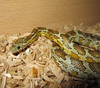 Caramel Corn Snake Snakes Livestock Blue Lizard
