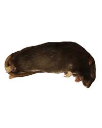 Picture of Frozen Rat Medium 150-250g - Pack of 100