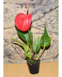 Picture of ProRep Live Plant Anthurium