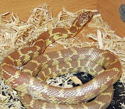 Amelanistic Florida King Snake - Snakes - Livestock - B