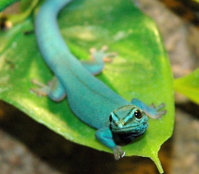 Electric Blue Day Gecko - Lizards - 107.3KB
