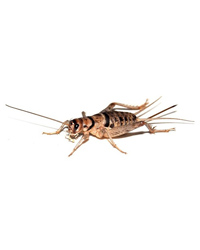 Picture of Banded Crickets 8mm Size 3 - Approx 200