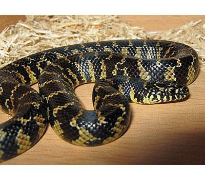 Brooks King Snake - Snakes - Livestock - Blue Lizard Re
