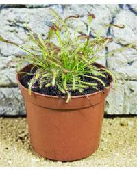 Picture of ProRep Live Plant Drosera capensis