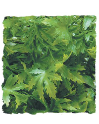 Picture of Zoo Med Cannabis Medium 46cm
