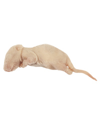 Picture of Frozen Mice Fluffs 4-6g - Pack of 10