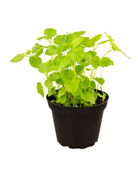 Picture of ProRep Live Food Plant Lemon Balm