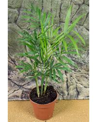 Picture of ProRep Live Plant Chamaedorea elegans