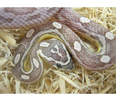 Ghost Motley Corn Snake - Snakes - Livestock - Blue Lizard