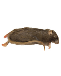 Picture of Frozen Rat Small 90-150g - Pack of 100