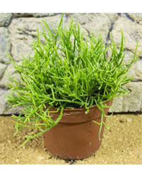 Picture of ProRep Live Plant Rhipsalis cassuta