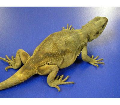 Chuckwalla Lizards Livestock Blue Lizard Reptiles