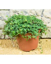 Picture of ProRep Live Plant Soleirolia soleirolii