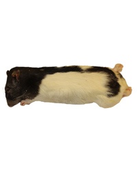 Picture of Frozen Rat Large 250-350g - Pack of 2