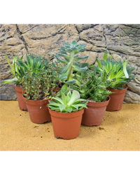 Picture of ProRep Live Plant Mini Arid Collection - 6 Plants