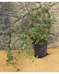 Picture of ProRep Live Plant Muehlenbeckia complexa