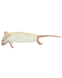 Picture of Frozen Mice Medium Size 15-22g - Pack of 10