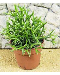 Picture of ProRep Live Plant Hatiora salicorniodes