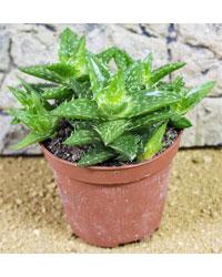 Picture of ProRep Live Plant Aloe squarrosa