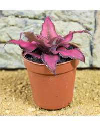 Picture of ProRep Live Plant Cryptanthus Sp