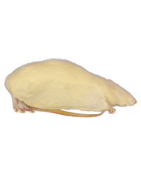 Picture of Frozen Rat Giant 450g up - Pack of 2