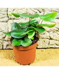 Picture of ProRep Live Plant Hemionitus arifolia
