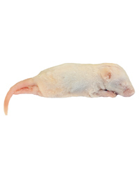 Picture of Frozen Mice Crawlers 6-10g - Pack of 10