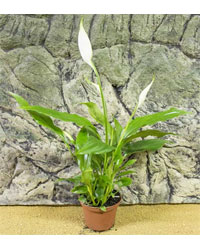 Picture of ProRep Live Plant Spathiphyllium chopin