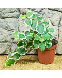 Picture of ProRep Live Plant Ficus pumila