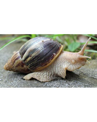 Picture of African Landsnail Kit Standard