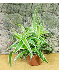 Picture of ProRep Live Plant Chlorophytum