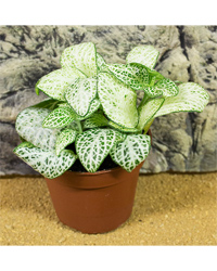 Picture of ProRep Live Plant Fittonia mix
