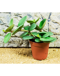 Picture of ProRep Live Plant Peperomia rotundifolia