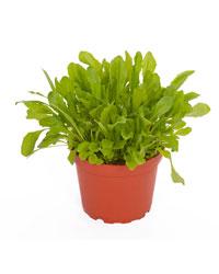 Picture of ProRep Live Food Plant Dandelion