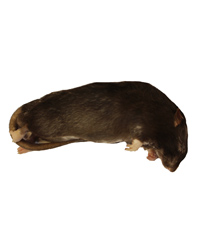 Picture of Frozen Rat Medium 150-250g - Pack of 10